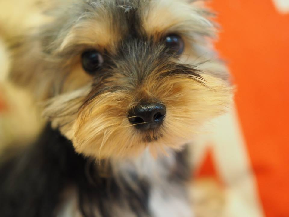 Yorkshire terrier kennel pris