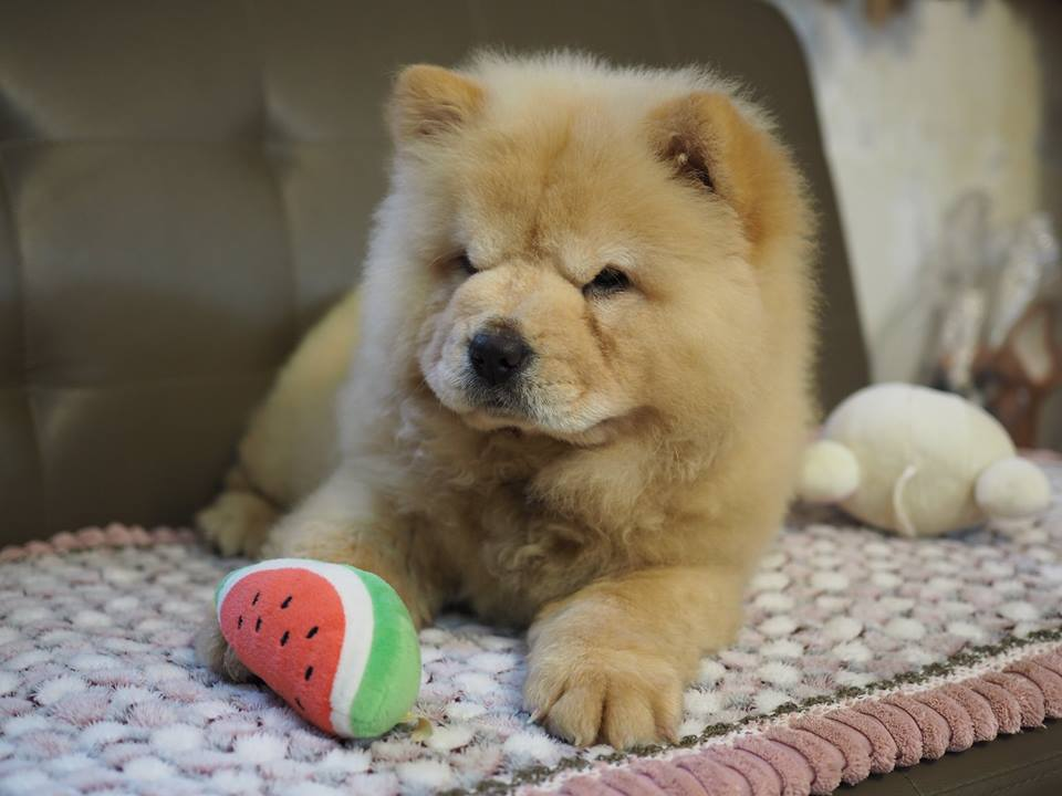 chow chow pris
