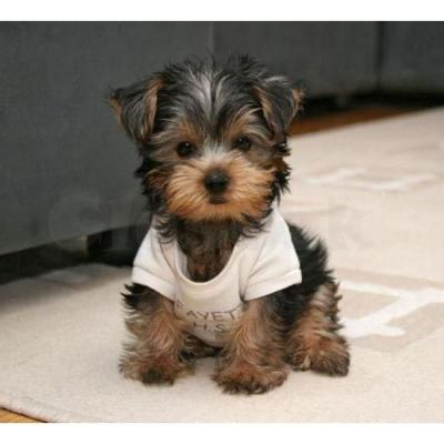 Cachorros Teacup X-Mas Yorkshire Terrier